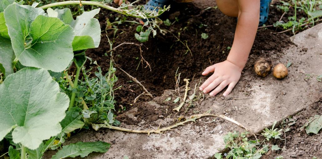 Gartenarbeit - Kartoffeln ernten - Erntedank feiern